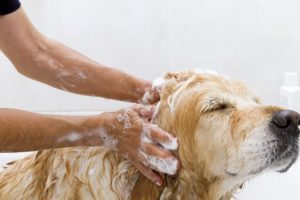 washing dog with flea shampoo
